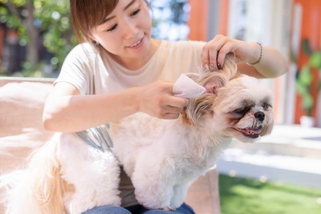犬の耳掃除は必要?点耳のやり方や嫌がる時の対処法、洗浄液の代用品についても解説